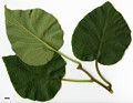 HerbariumCode: CRÛG - Herbarium: Crûg Farm Plants, Wales (UK) - Number plant: 1996-BSWJ3563-Taiwan - Number picture: 05