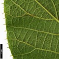 HerbariumCode: CRÛG - Herbarium: Crûg Farm Plants, Wales (UK) - Number plant: 1996-BSWJ3563-Taiwan - Number picture: 08