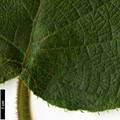 HerbariumCode: CRÛG - Herbarium: Crûg Farm Plants, Wales (UK) - Number plant: 1996-BSWJ3563-Taiwan - Number picture: 11