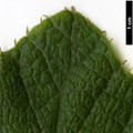 HerbariumCode: CRÛG - Herbarium: Crûg Farm Plants, Wales (UK) - Number plant: 1996-BSWJ3563-Taiwan - Number picture: 13