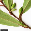 HerbariumCode: CRÛG - Herbarium: Crûg Farm Plants, Wales (UK) - Number plant: 0000-RWJ9999-Taiwan - Number picture: 05