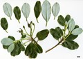 HerbariumCode: DIV - Herbarium: Diverse Sources - Number plant: 0275 - Number picture: 01