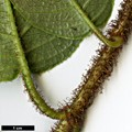 HerbariumCode: CRÛG - Herbarium: Crûg Farm Plants, Wales (UK) - Number plant: 2004-BSWJ10481-Costa Rica - Number picture: 03