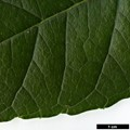 HerbariumCode: CRÛG - Herbarium: Crûg Farm Plants, Wales (UK) - Number plant: 2004-BSWJ10481-Costa Rica - Number picture: 05