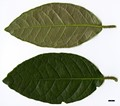 HerbariumCode: CRÛG - Herbarium: Crûg Farm Plants, Wales (UK) - Number plant: 2004-BSWJ10481-Costa Rica - Number picture: 06