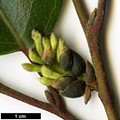 HerbariumCode: HGAA - Herbarium: Hillier Gardens & Arboretum Ampfield (UK) - Number plant: 19860068A - Number picture: 02