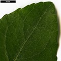 HerbariumCode: HGAA - Herbarium: Hillier Gardens & Arboretum Ampfield (UK) - Number plant: 19860068A - Number picture: 05