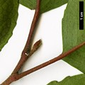 HerbariumCode: HGAA - Herbarium: Hillier Gardens & Arboretum Ampfield (UK) - Number plant: 19860068A - Number picture: 07