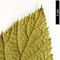 HerbariumCode: BARCLA - Herbarium: Barry Clarke - Number plant: 2010019A-BWC135-Hsinchu-Tuchang-Taiwan - Number picture: 09