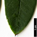 HerbariumCode: NBGUL - Herbarium: Ness Botanic Gardens University of Liverpool (UK) - Number plant: 1628-MF96170- JiushijuiLongTan- Yunnan - Number picture: 08