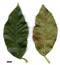 HerbariumCode: MFOST - Herbarium: Maurice Foster, Ivy Hatch (UK) - Number plant: 0000-PW15 - Number picture: 03