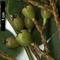 HerbariumCode: NBGUL - Herbarium: Ness Botanic Gardens University of Liverpool (UK) - Number plant: 2739-KR2173-BanKhoang-LaoCaiProv-Vietnam - Number picture: 02
