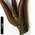 HerbariumCode: NBGUL - Herbarium: Ness Botanic Gardens University of Liverpool (UK) - Number plant: 2739-KR2173-BanKhoang-LaoCaiProv-Vietnam - Number picture: 04