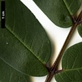 HerbariumCode: NBGUL - Herbarium: Ness Botanic Gardens University of Liverpool (UK) - Number plant: 2739-KR2173-BanKhoang-LaoCaiProv-Vietnam - Number picture: 05