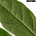 HerbariumCode: CRÛG - Herbarium: Crûg Farm Plants, Wales (UK) - Number plant: 2004-BSWJ10757-Colombia - Number picture: 06