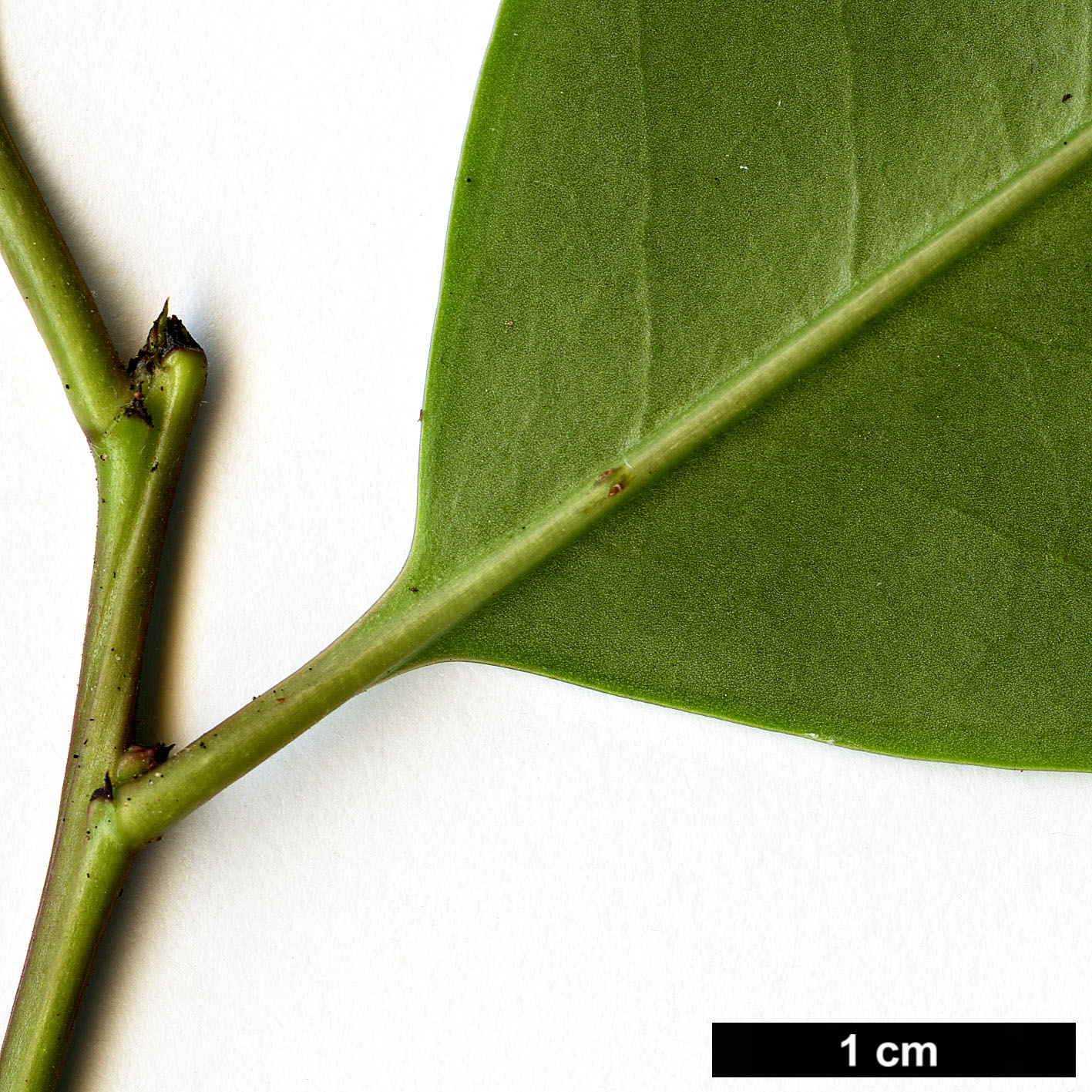 High resolution image: Family: Aquifoliaceae - Genus: Ilex - Taxon: rotunda