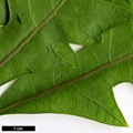 HerbariumCode: MEON - Herbarium: Meon Orchard (UK) - Number plant: 20000101-A043-Chilterns - Number picture: 05