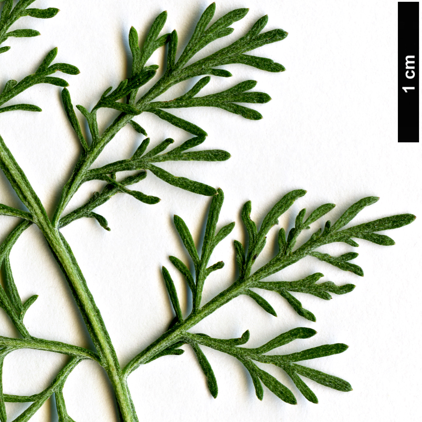 High resolution image: Family: Asteraceae - Genus: Artemisia - Taxon: abrotanum