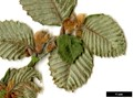 HerbariumCode: MFOST - Herbarium: Maurice Foster, Ivy Hatch (UK) - Number plant: 0000-KR6371-D-Xizang - Number picture: 02