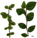 HerbariumCode: MFOST - Herbarium: Maurice Foster, Ivy Hatch (UK) - Number plant: 0000-KR6371-Xizang - Number picture: 01