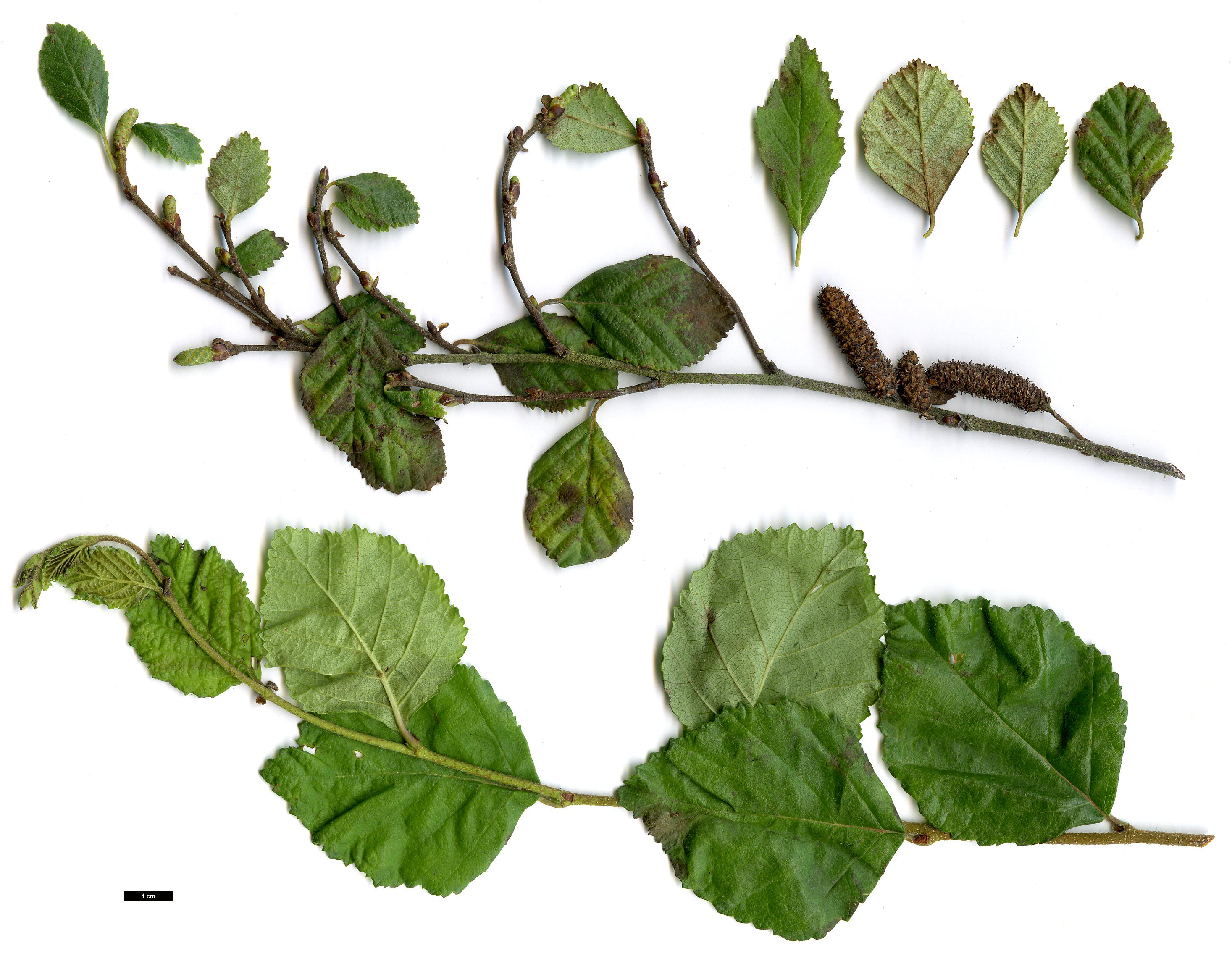 High resolution image: Family: Betulaceae - Genus: Betula - Specy: fruticosa - HerbariumCode: MFOST - Herbarium: Maurice Foster, Ivy Hatch (UK) - Number plant: 0000-Kew-KILO10-B.ovalifolia - Number picture: 03