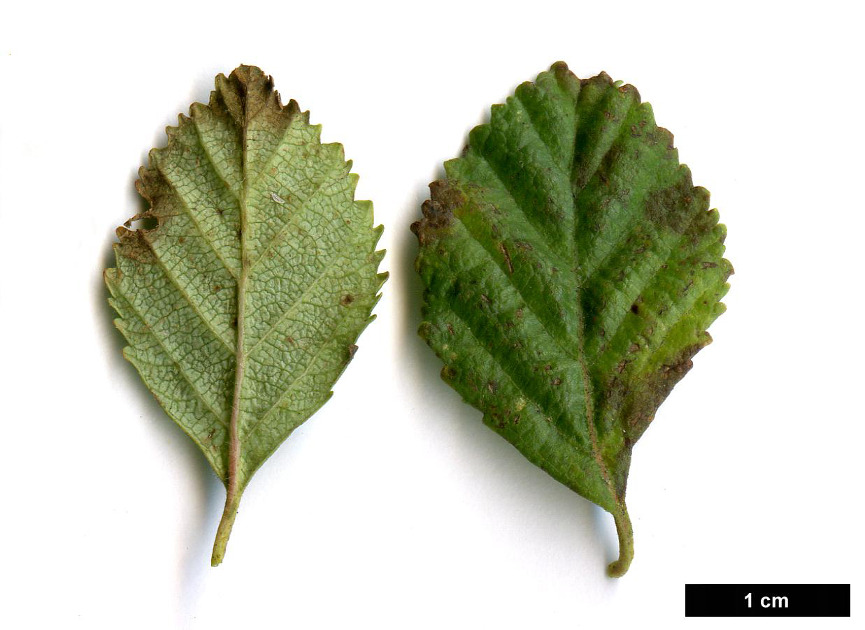 High resolution image: Family: Betulaceae - Genus: Betula - Specy: fruticosa - HerbariumCode: MFOST - Herbarium: Maurice Foster, Ivy Hatch (UK) - Number plant: 0000-Kew-KILO10-B.ovalifolia - Number picture: 05