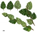 HerbariumCode: MFOST - Herbarium: Maurice Foster, Ivy Hatch (UK) - Number plant: 03079-EgValley-NMongolia-B.fruticosa-micropylla it - Number picture: 01