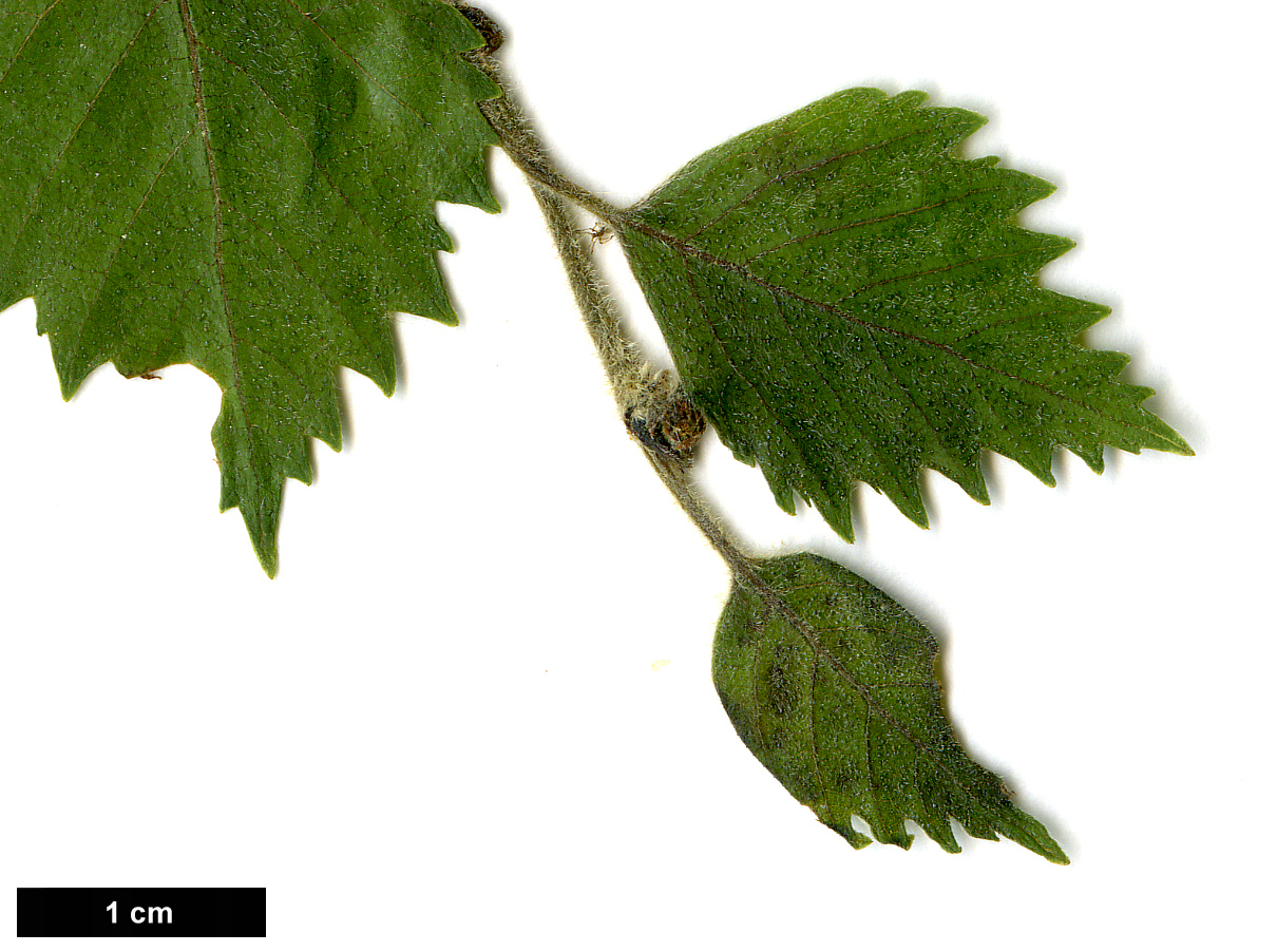 High resolution image: Family: Betulaceae - Genus: Betula - Specy: pubescens - HerbariumCode: MFOST - Herbarium: Maurice Foster, Ivy Hatch (UK) - Number plant: 0000-KAshburner - Number picture: 02