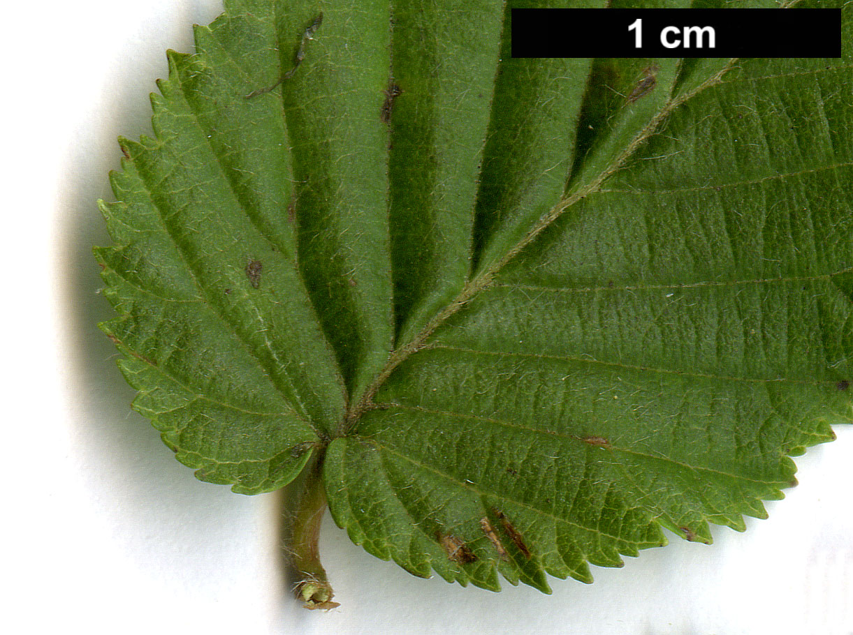 High resolution image: Family: Betulaceae - Genus: Carpinus - Taxon: ×schuschaensis (C.betulus × C.orientalis)