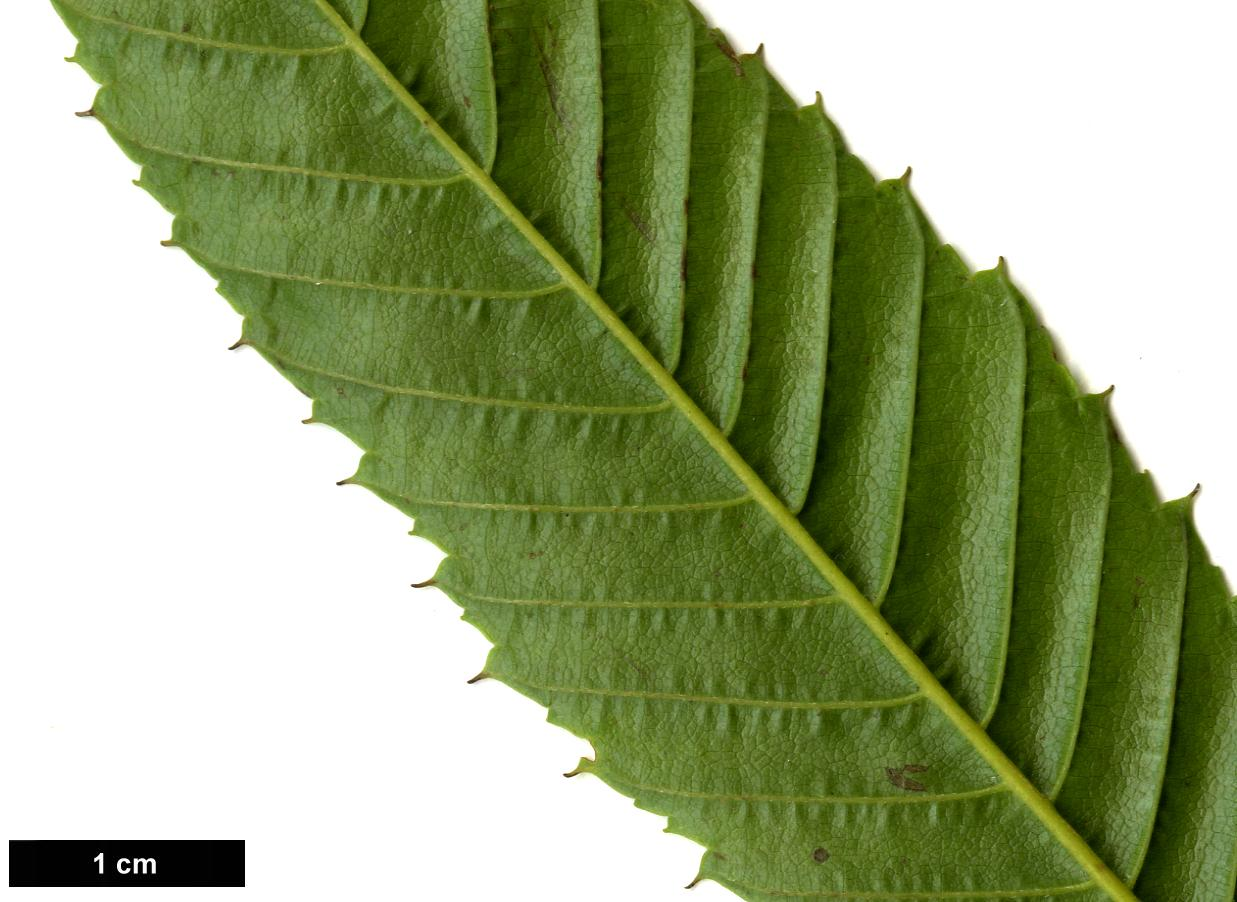 High resolution image: Family: Betulaceae - Genus: Carpinus - Taxon: japonica