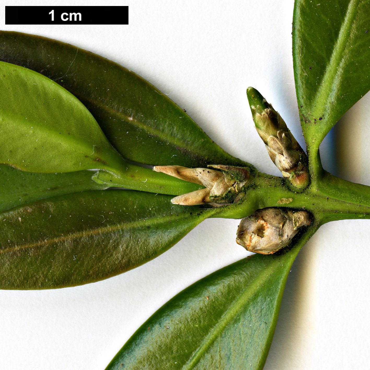 High resolution image: Family: Buxaceae - Genus: Buxus - Taxon: balearica