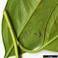 HerbariumCode: CRÛG - Herbarium: Crûg Farm Plants, Wales (UK) - Number plant: 2002-BSWJ9500-South India - Number picture: 03