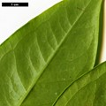 HerbariumCode: CRÛG - Herbarium: Crûg Farm Plants, Wales (UK) - Number plant: 2002-BSWJ9500-South India - Number picture: 04