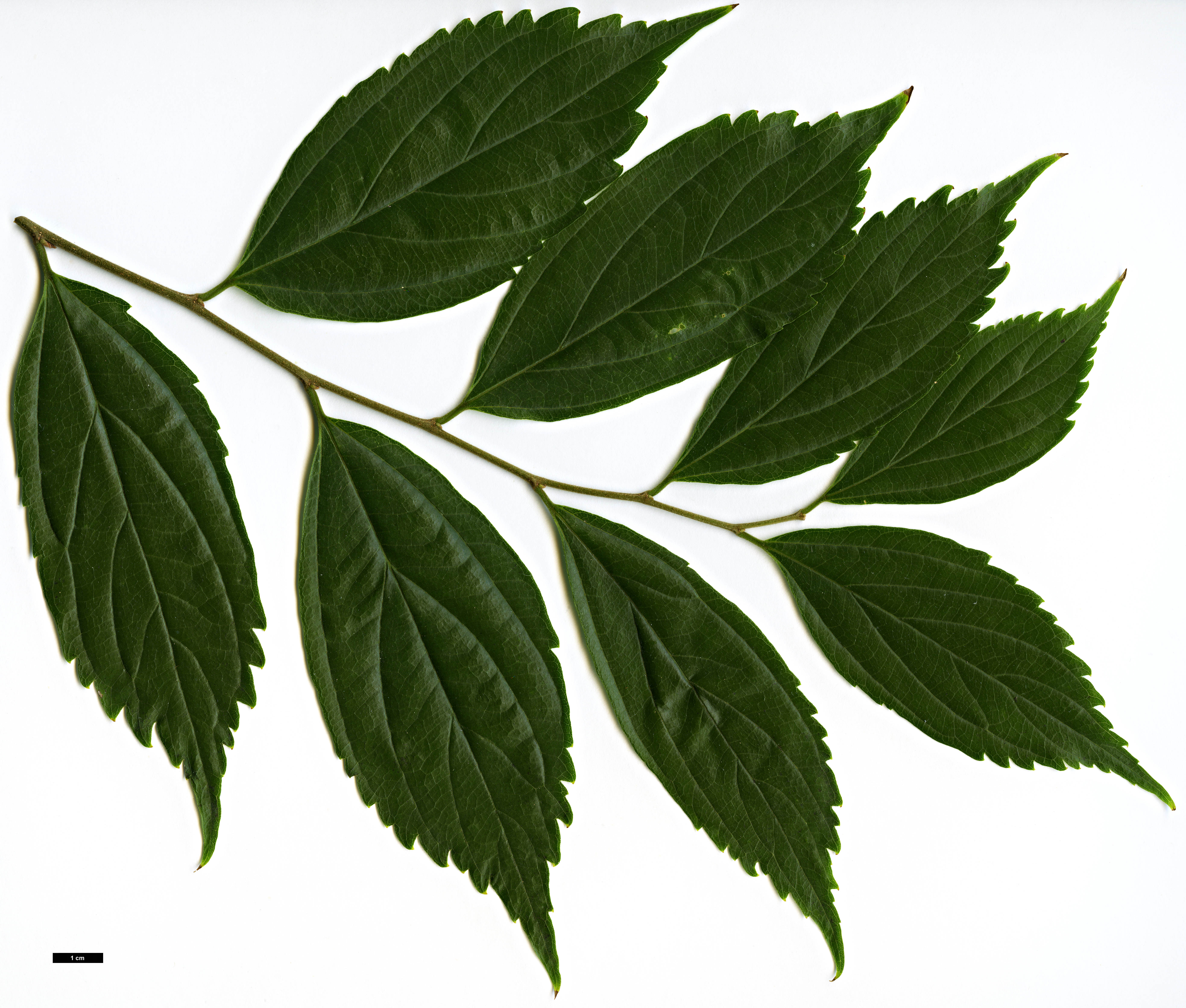 High resolution image: Family: Cannabaceae - Genus: Celtis - Taxon: sinensis