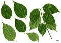 HerbariumCode: MFOST - Herbarium: Maurice Foster, Ivy Hatch (UK) - Number plant: 0000-JF-T33M - Number picture: 01