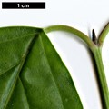 HerbariumCode: MFOST - Herbarium: Maurice Foster, Ivy Hatch (UK) - Number plant: 0000-JF-T33M - Number picture: 02