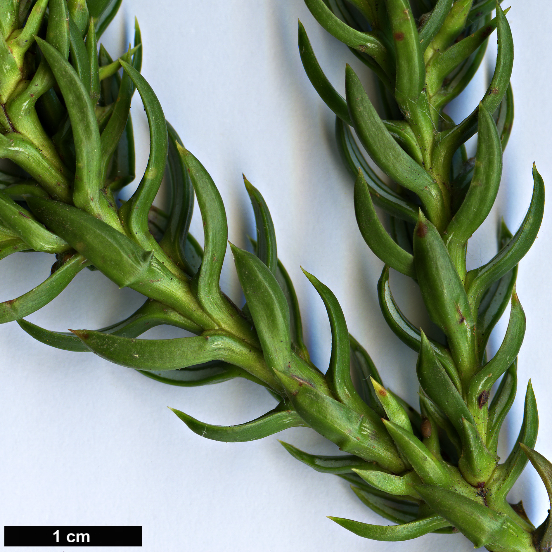 High resolution image: Family: Cupressaceae - Genus: Athrotaxis - Taxon: selaginoides