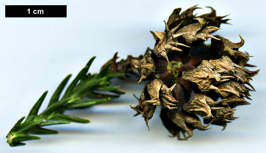High resolution image: Family: Cupressaceae - Genus: Cryptomeria - Taxon: japonica