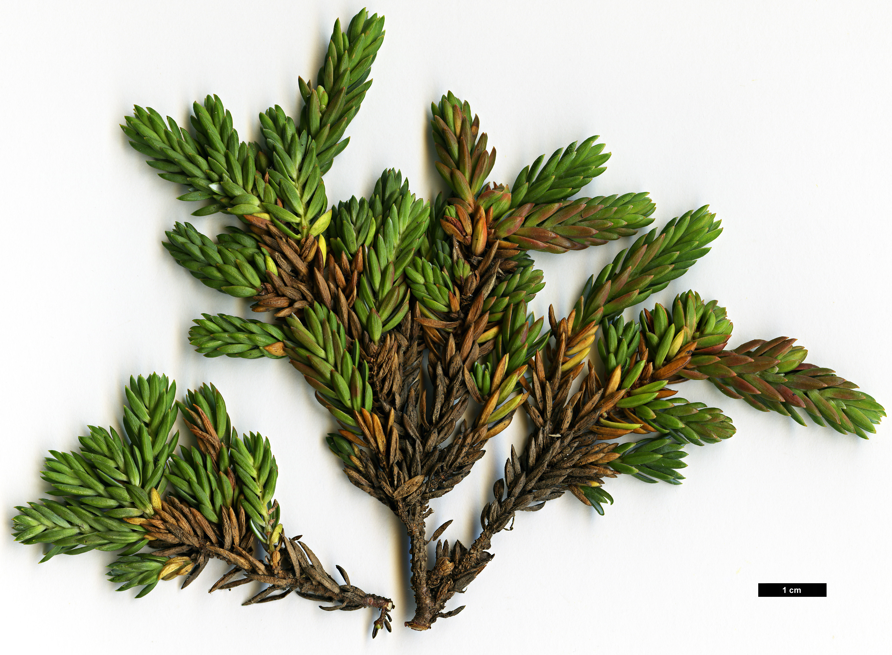 High resolution image: Family: Cupressaceae - Genus: Juniperus - Taxon: taxifolia - SpeciesSub: var. lutchuensis