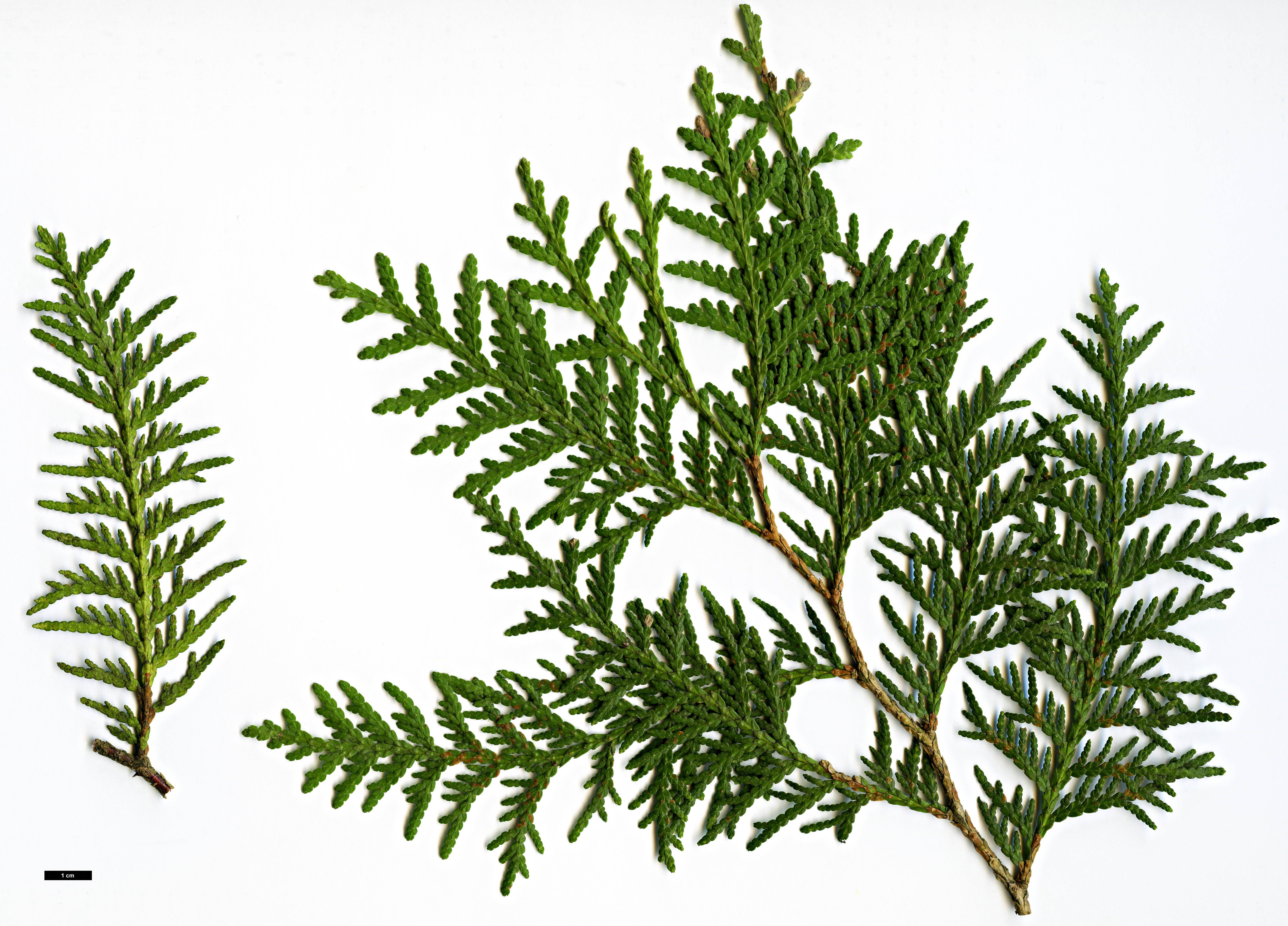High resolution image: Family: Cupressaceae - Genus: Thuja - Taxon: occidentalis