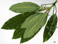 HerbariumCode: CRÛG - Herbarium: Crûg Farm Plants, Wales (UK) - Number plant: 1996-BSWJ3805-Taiwan - Number picture: 01