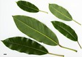 HerbariumCode: CRÛG - Herbarium: Crûg Farm Plants, Wales (UK) - Number plant: 1996-BSWJ3805-Taiwan - Number picture: 10