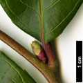 HerbariumCode: POLHIL - Herbarium: Polly Hill Arboretum, Massachusetts (USA) - Number plant: 2013159A - Number picture: 06
