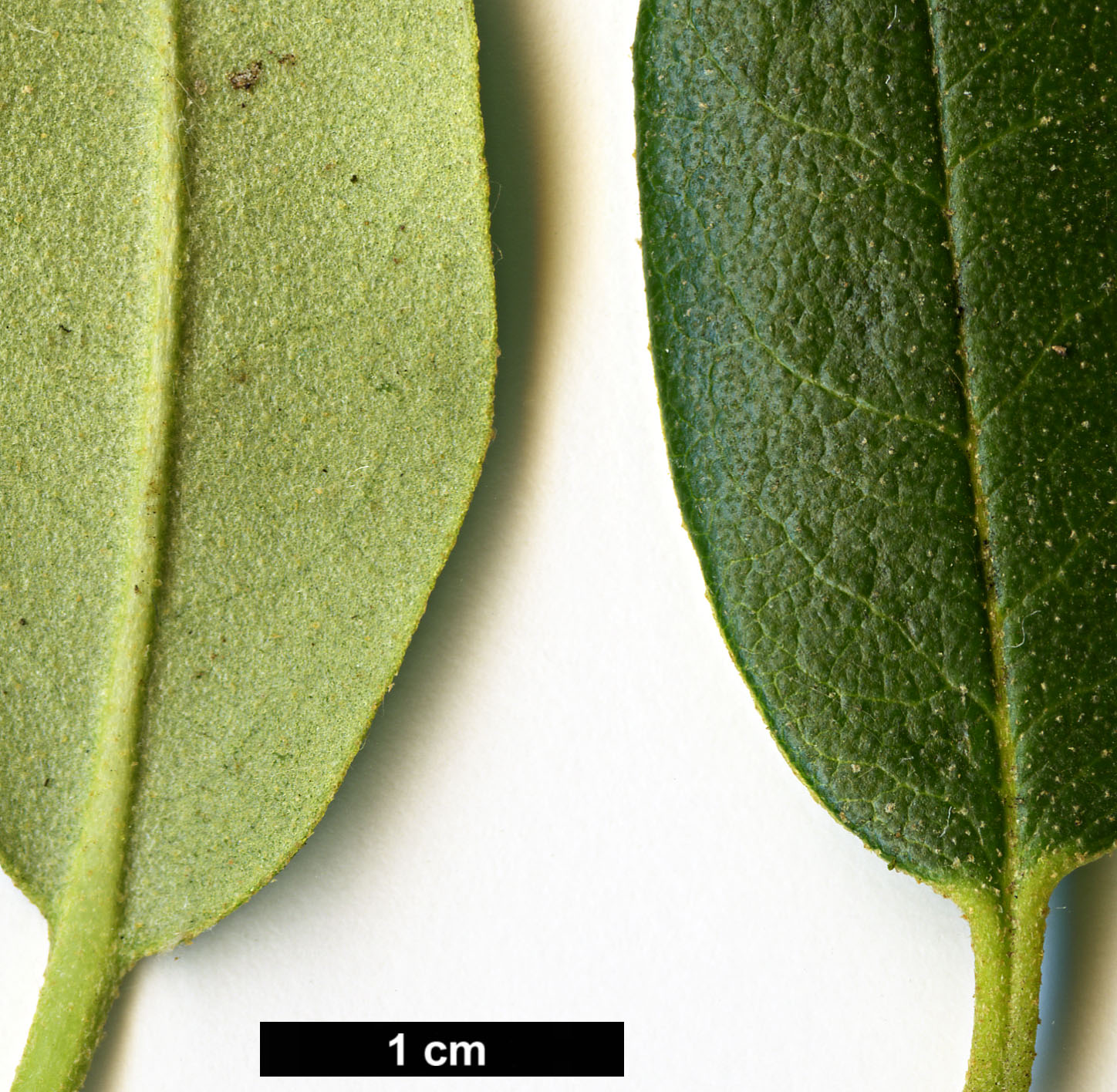 High resolution image: Family: Ericaceae - Genus: Rhododendron - Taxon: collettianum