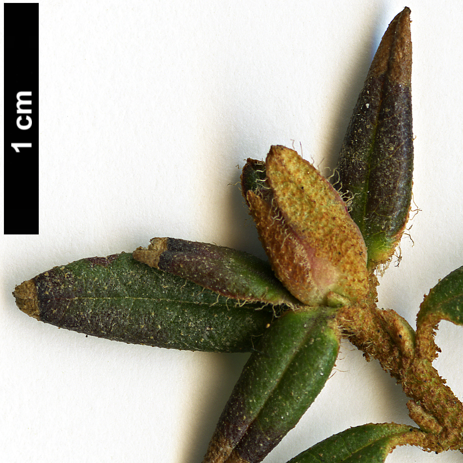 High resolution image: Family: Ericaceae - Genus: Rhododendron - Taxon: trichostomum