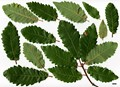 HerbariumCode: IOS - Herbarium: International Oak Society Tour - Number plant: 0000-SW-IberiaWLD - Number picture: 01