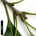 HerbariumCode: HGAA - Herbarium: Hillier Gardens & Arboretum Ampfield (UK) - Number plant: 19951138A-MEX - Number picture: 02
