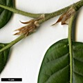 HerbariumCode: TPAR - Herbarium: Tregrehan Par (UK) - Number plant: 2010-17-A.Coombes-Hillier20050077-China - Number picture: 02