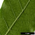 HerbariumCode: GAMMON - Herbarium: Gammon, Birchfleet Nurseries (UK) - Number plant: 0000 - Number picture: 04