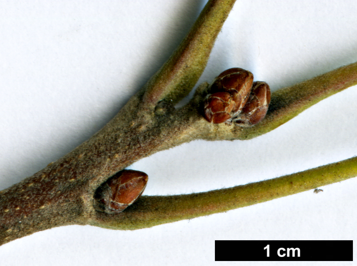 High resolution image: Family: Fagaceae - Genus: Quercus - Taxon: macrocarpa